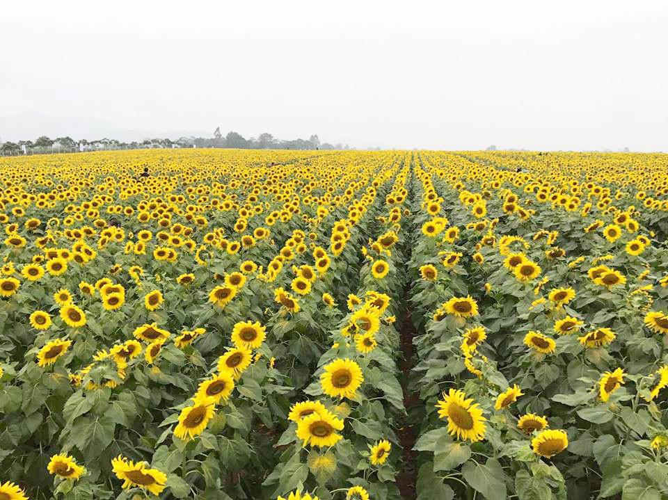 Ở Hà Nội cũng có những cánh đồng hoa hướng dương đẹp rực rỡ như thế