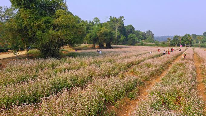 Vườn hoa tam giác mạch 5.000 m2 ở ngoại thành Hà Nội