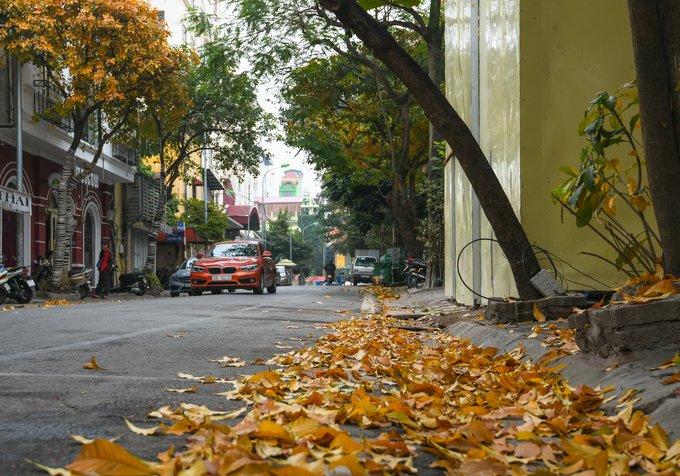 Thảm lá lộc vừng trước cửa một căn nhà trên phố Trần Quốc Toản. Ở một số vùng, lộc vừng được xếp vào danh sách
