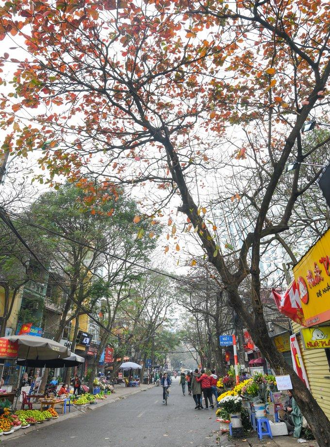 Những chiếc lá bàng cuối mùa ở chợ Nghĩa Tân (Cầu Giấy) - điểm ăn vặt yêu thích của nhiều bạn trẻ. Lá và vỏ thân cây được sử dụng trong y học cổ truyền để chữa cảm sốt, viêm loét... Tại Đài Loan, người dân dùng lá bàng để làm thuốc chữa một số bệnh về gan.