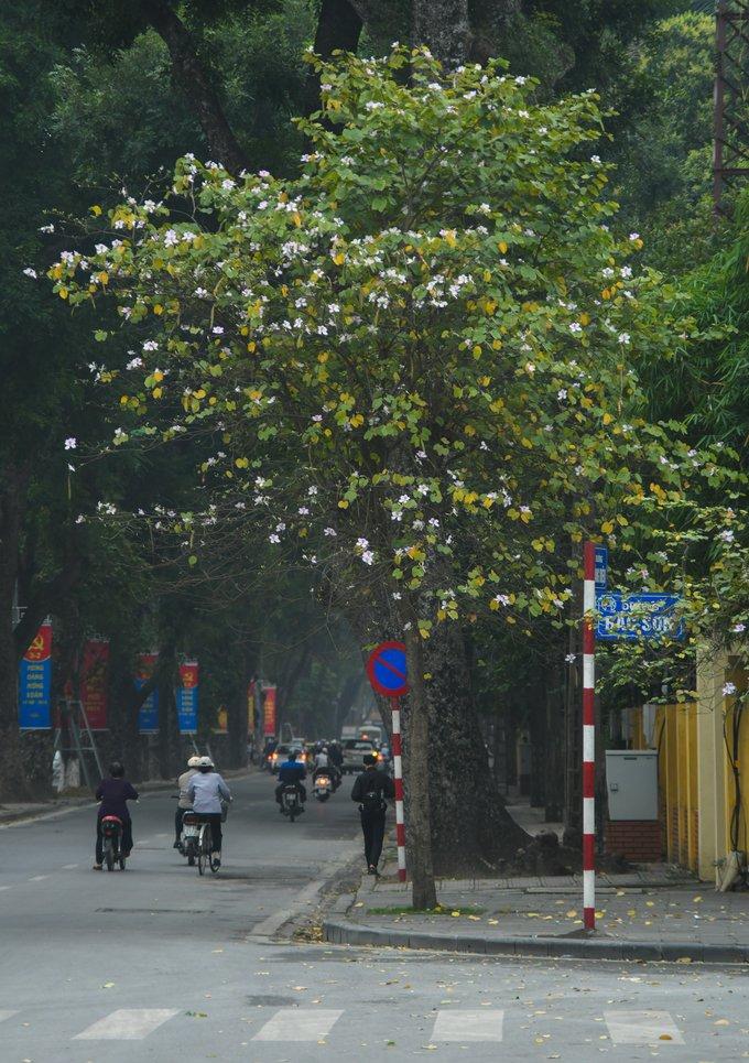 Thời tiết nắng nóng trong dịp Tết khiến những cây hoa ban trên đường phố Hà Nội nở sớm khoảng 3 tuần so với các năm trước.