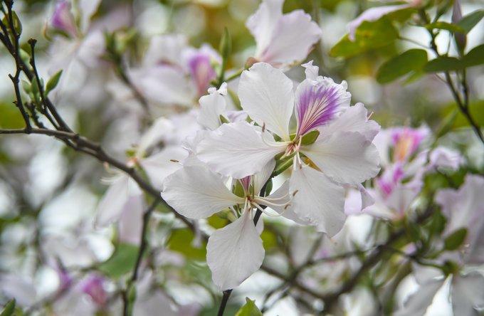 Cây thuộc chi Bauhinia, có tên tiếng Anh là Camel's foot (bàn chân lạc đà). Hoa không có hương nhưng có vị, mỗi bông gồm 4-5 cánh, nhị màu hồng, gân màu tím và có vị ngọt. Người dân tộc Thái có món ăn truyền thống là nộm hoa ban.