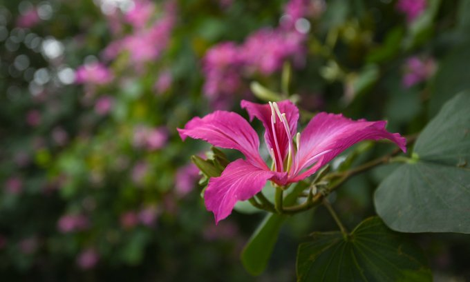 Khoảng ba năm trở lại đây, một số tuyến đường ở Hà Nội trồng thêm hoa ban tím.