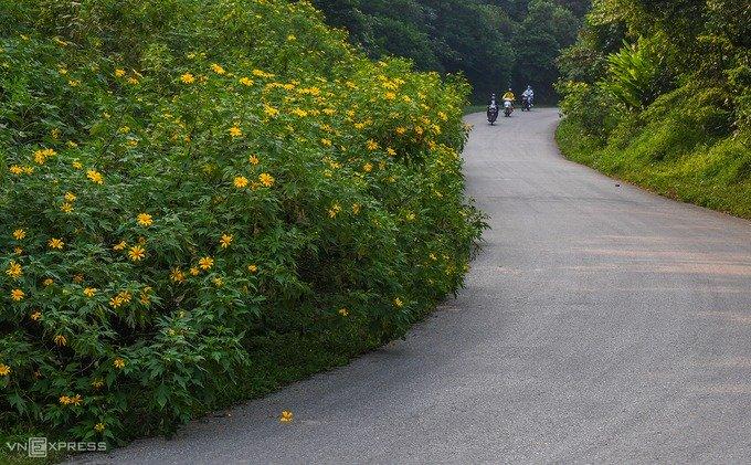 Đầu tháng 11, hoa dã quỳ vào mùa nở rộ tại vườn quốc gia Ba Vì. Từ cổng vào lên tới rừng thông coste 400, du khách sẽ bắt gặp những bụi hoa đang khoe sắc được trồng thành từng bụi lớn hai bên đường.