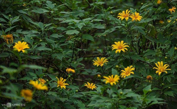 Từ những năm 30 của thế kỷ trước, người Pháp đã mang loài hoa này tới trồng tại Ba Vì. Trong nhiều năm, dã quỳ vẫn được coi là hoa dại và bị chặt bỏ mỗi khi phát quang các khu rừng. Khoảng 5 năm nay, vườn quốc gia đã thực hiện trồng thêm dã quỳ khi nhận thấy khách du lịch yêu thích loài hoa này, bên cạnh việc tô điểm thêm sắc màu cho ngọn núi trong mùa thu.