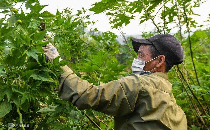Anh Kiều Văn Tuyến (Ba Vì), một người làm vườn đang vặt bỏ lá bị héo trong những khóm dã quỳ. Theo anh Tuyến, công việc này kéo dài hàng tuần và chia làm nhiều lượt trong suốt mùa hoa.
