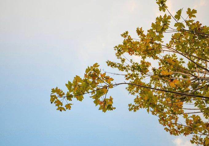 Sau gần 9 tháng trồng tại các phố Trần Duy Hưng và Nguyễn Chí Thanh, một vài cây phong đã chuyển màu lá từ xanh sang đỏ, cam, vàng.
