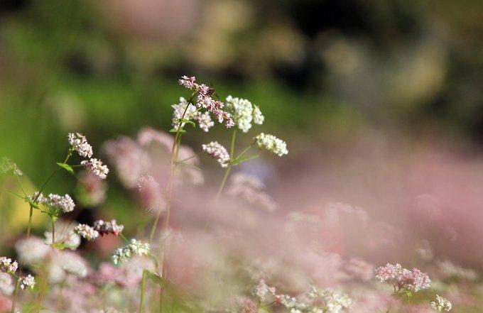Hoa tam giác mạch trồng từ đầu tháng 10 đến cuối tháng 11 là ra hoa, hoa tồn tại khoảng hơn 2 tuần là tàn.